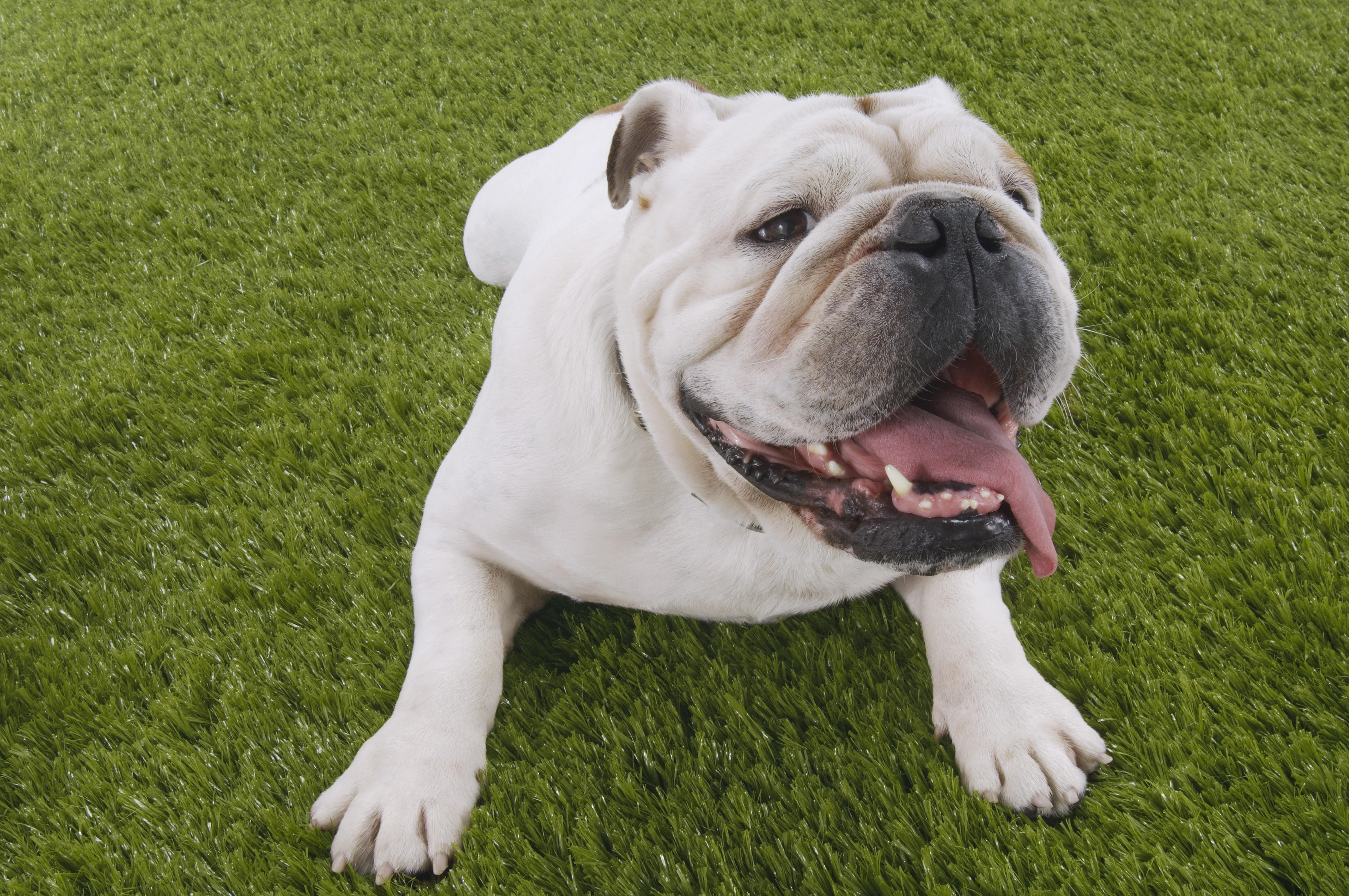 עיקור כלבה – האם היא סובלת?